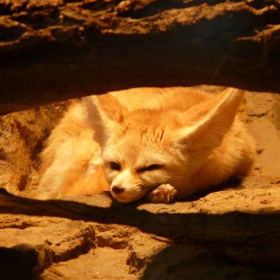 fennec-fox-77048_1280
